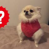 【なにこれ】愛犬に服を着せただけなのに、なぜか面白い姿に……!? 「いやいやヤバいてw」「可愛すぎて笑ってしまった」とツイッターで大人気