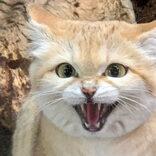 「砂漠の天使」スナネコを販売するペットショップが物議 専門家に見解を聞いた