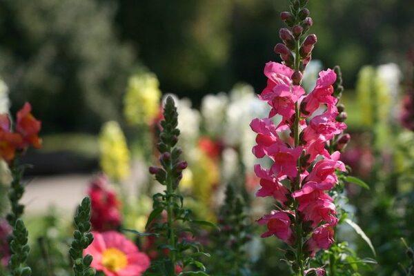 揺らめく花穂が華やかなキンギョソウ