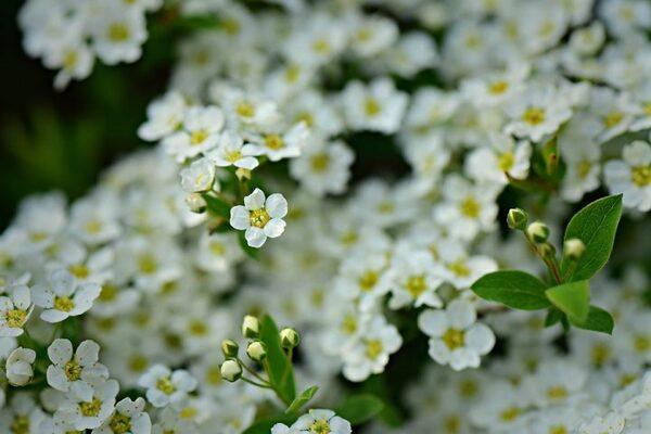 たくさんの小花がこんもり咲くアリッサム