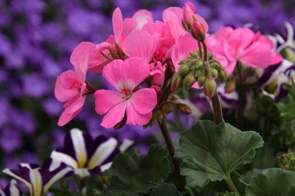 一年中花を咲かせるとされるゼラニウム