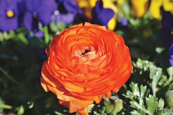 重なった花びらが特徴のラナンキュラス