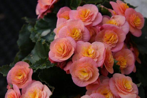 上品なバラのようなベゴニア