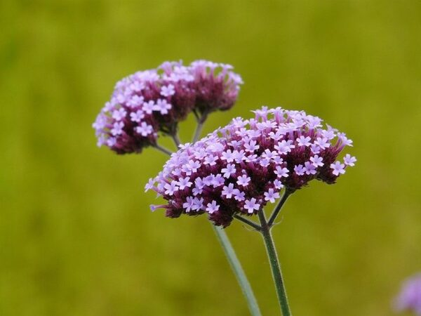 無数の小さなお花が魅力のバーベナ