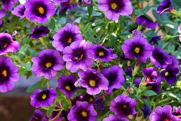 薄い花びらが花壇を彩るペチュニア