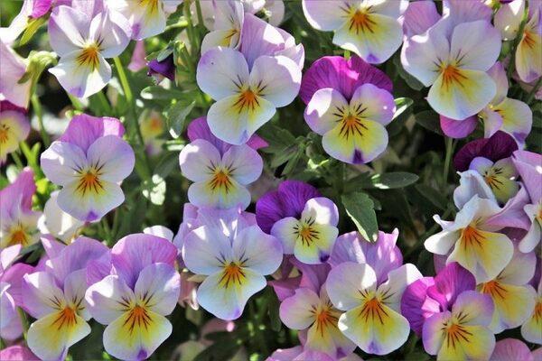 カラフルなかわいらしいお花のパンジー