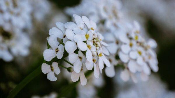 小花がボール状に咲くキャンディタフト