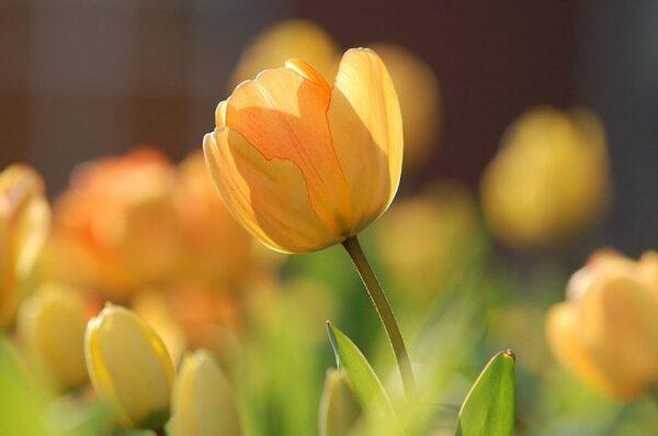 春のお花として定番のチューリップ
