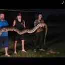 136キロの巨大ビルマニシキヘビを発見 お腹の中には100個の卵も(米)