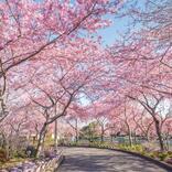 関西エリアおすすめ「お花の絶景スポット」5選! 桜・ネモフィラほか必見施設