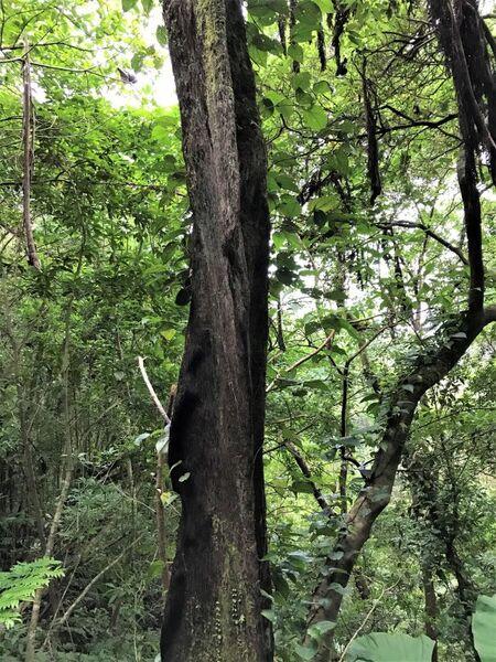 根が張り出したヒカゲヘゴ