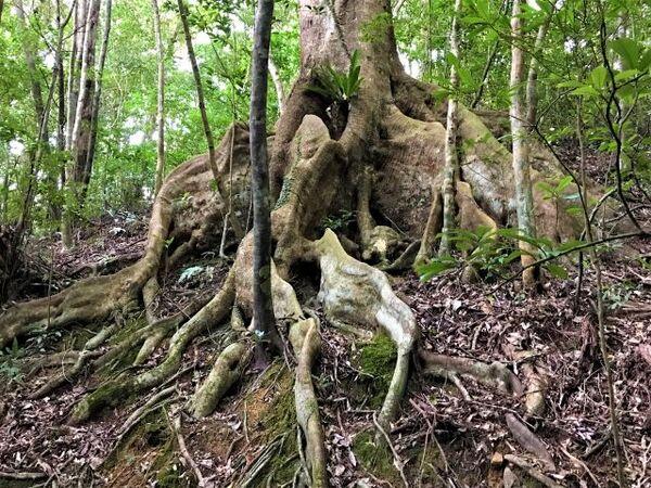 オキナワウラジロガシの根