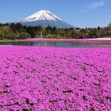 関東最大級!富士山と芝桜の競演「2021富士芝桜まつり」4月開幕