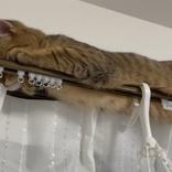 いやバレバレ… カーテンレールに隠れているつもりの猫、はみ出したモフモフの分だけ愛らしさあふれる
