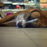 番犬が防犯訓練で大失態 のんびり眠るグータラ映像で大ブレーク