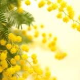 3月8日は女性に花を贈る日だった? 意外と知らない「ミモザの日」の話