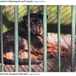 死んだオオカミの代わりに犬を檻に入れて展示 中国の動物園に失笑<動画あり>