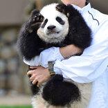 「荒んだ心が癒される…」 お披露目された赤ちゃんパンダに、ため息が止まらない