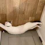ニャンニャン!忍者猫参上 身体ピーーーンで隠れ身の術?