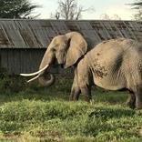 マサイ族がiPhoneで撮影した「そのへんにいた動物」の写真集パート2(野良ゾウ多め) / マサイ通信:第466回