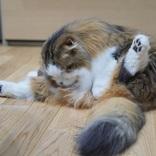「股割りの稽古中」に見える猫の毛繕いポーズ