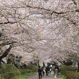 川面に映る1万本の桜が見目麗しい 岩手の「北上展勝地さくらまつり」