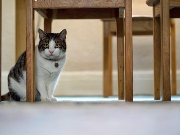 テーブルの下の猫
