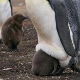 「赤ちゃんペンギンの衝撃的な寝相」と飼育員が撮影した動画が、本当に衝撃