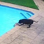 プールに落ちた親友を助けようとした犬 結末に「泣いた」「この犬は天使」