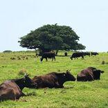 【八重山諸島・黒島】牧場が広がるのどかな小島。牛が草を食み、ウミガメが訪れる