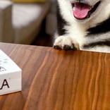 「え、僕にも?」 犬用ピザをもらった柴犬 その反応に「かわいすぎ」「ほほ笑ましい」の声