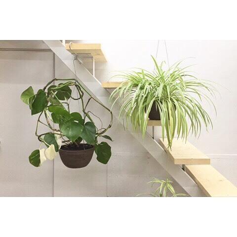 人気の北欧生まれの観葉植物