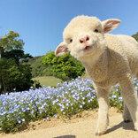 臨時休園中に、ネモフィラ畑を散歩する子羊 かわいすぎる8枚の写真に癒される