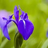 ややこしいけれど面白い豆知識!  端午の節句の花はどれ? アヤメ・カキツバタ・ショウブの見分け方