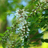 梨花、アカシアの花の天ぷらにファン「どんな味?」の声
