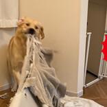 【100日後に壊れる家】愛犬の大暴れが止まらない! 「破壊力が素晴らしい」「もはやぶっ壊れてる」の声が続々