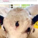 """""""第三の目""""を持つ子牛がイギリスで見つかる 「インドなら神と崇拝」「神秘的」と大反響"""