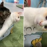 しつこいニャ…虚無顔にじむ心の声 1時間舐められ続けても逃げない白猫、仲良し兄弟あふれる愛