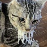 """あ、魚じゃニャい… """"刺身のツマ""""を強奪した猫、匂いに誘われ頬張るもお気に召さず"""