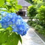 【鎌倉あじさいルポ2021】明月院ブルーがそろそろ見頃。今年は週末開門するの?
