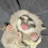 しっぽマキマキほっかむり… フクロモモンガの幸せあふれる安眠法