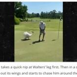 フォームが気に食わなかった? カップインしたゴルファーに白鳥が猛攻撃(米)<動画あり>