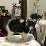背中ボワッ! 自分の姿を初めて見た子猫、毛を逆立て戦闘態勢に