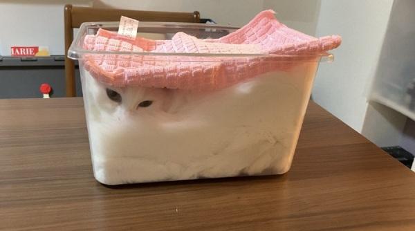 「ただいま発酵中ニャ」ふわふわに膨れる猫が白い食パンのよう