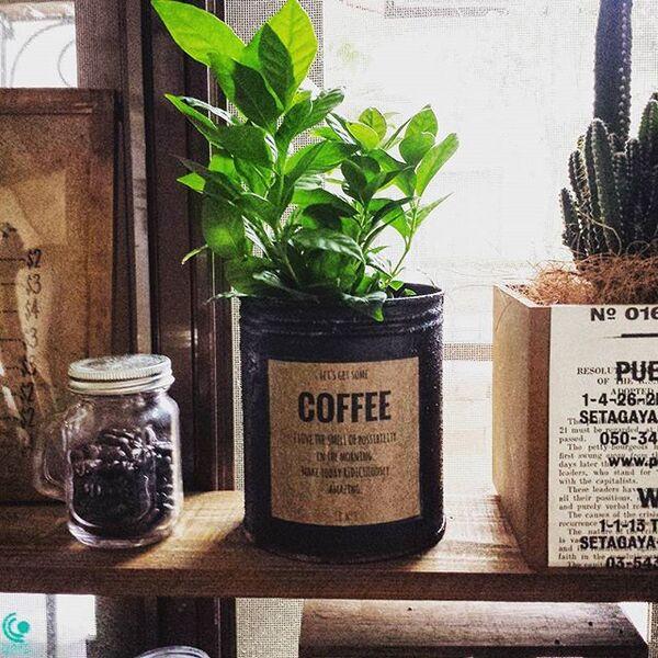 キッチンにコーヒーの木で家庭運アップ