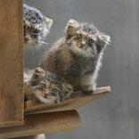 上野動物園に双子のマヌルネコが誕生 興味深そうに見つめる生後2ヵ月の愛らしい姿公開