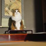 頭が高い、ひかえおろう……! 床の間で気品たっぷりに座るお猫様