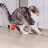 勢いあまって顔めり込む… はしゃぎすぎた猫、ボールを追い越し壁へ 急ブレーキも間に合わず