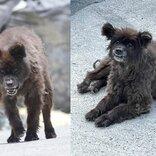 """クマではなく「犬」 福島に出没した""""謎の生き物""""、無事に飼い主のもとへ 安堵の表情うかべる"""