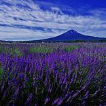 【富士河口湖ハーブランタンまつり】富士山を背景に咲くラベンダーとランタンの灯りを楽しむ